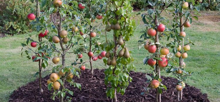 Kā izaudzēt veselīgus augļu kokus?